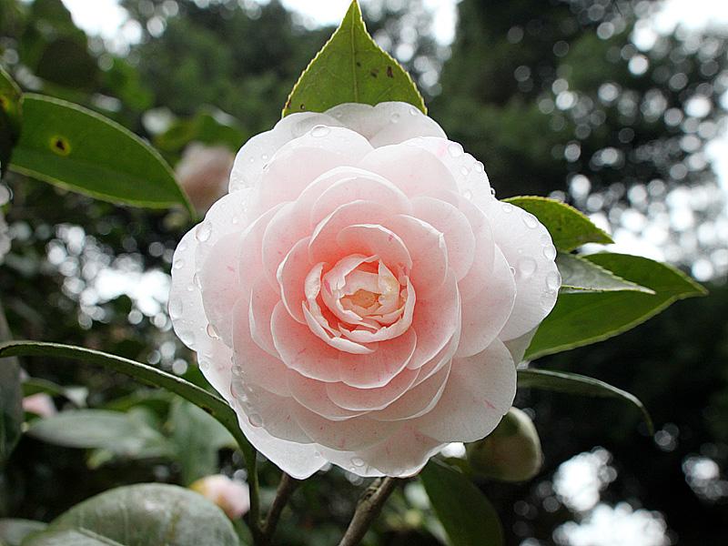 картинка: IMG_3490_Camelia_japonica_sm.jpg