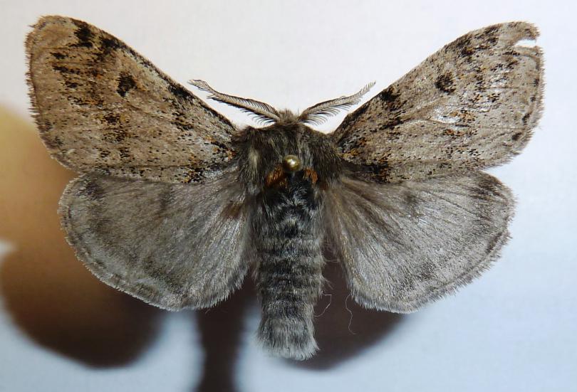 Dicallomera_fascelina__Linnaeus__1758_.JPG - кликните, чтобы открыть увеличенную картинку