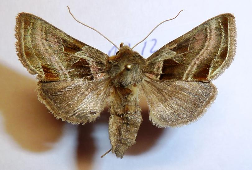 Euchalcia_variabilis_uralensis__Eversmann__1842_.JPG - кликните, чтобы открыть увеличенную картинку