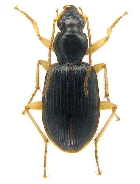 картинка: Paranchus_albipes__Fabricius__1796____8_mm.jpg