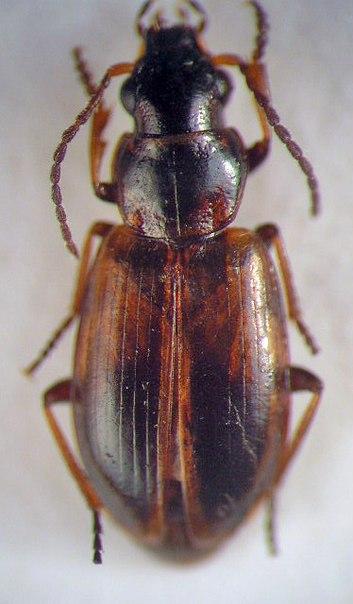 картинка: Dicheirotrichus__Trichocellus__cognatus__Gyllenhal__1827_.jpg