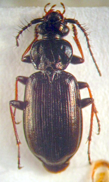 картинка: Loricera__s._str.__pilicornis_ssp._congesta_Mannerheim__1853.JPG