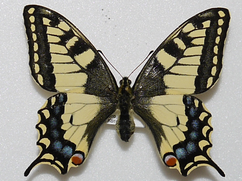 картинка: PAPILIO_MACHAON__26.05.2011_.JPG