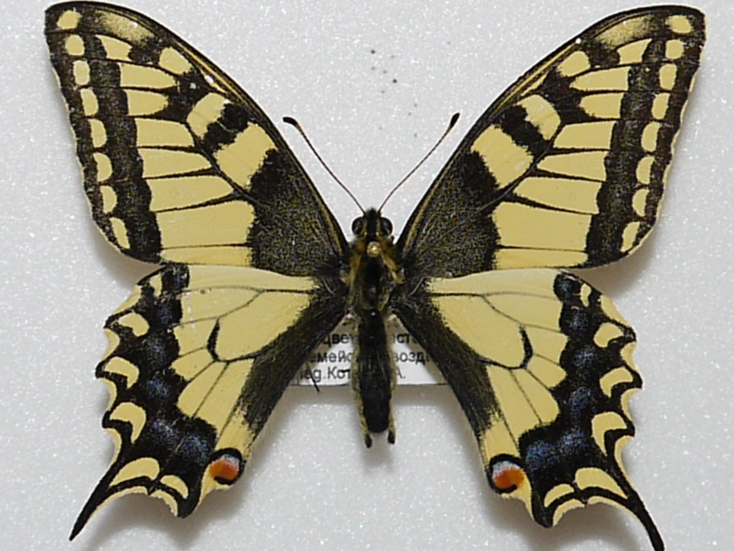 картинка: PAPILIO_MACHAON__25.05.2011_.JPG