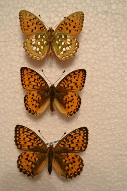 картинка: Argynnis_aglaja__Linnaeus__1758_.jpg