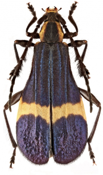картинка: Pteroplatus_cf._fasciatus.jpg