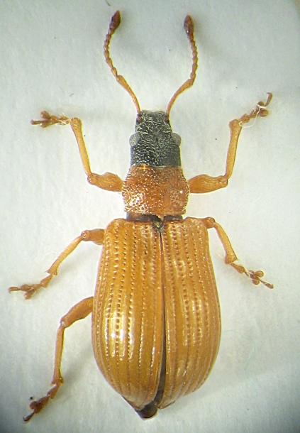 картинка: Phyllobius_armeniacus_big.jpg