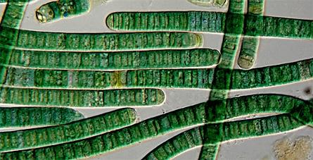 картинка: Antarcticcyanobacteria.png