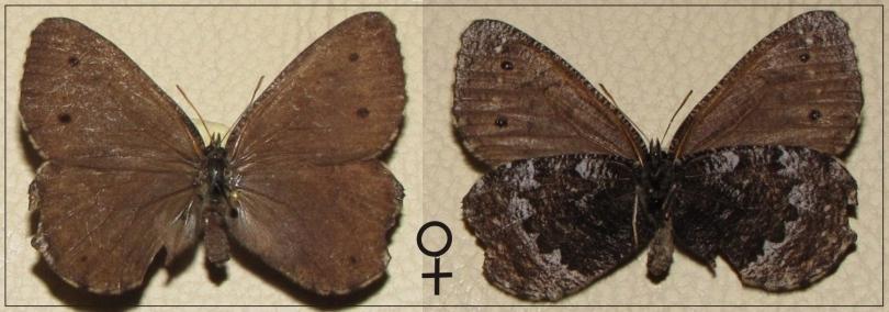 картинка: Oeneis_actaeoides.jpg