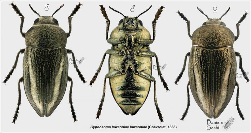 картинка: Cyphosoma_20lawsoniae_20lawsoniae_20_Chevrolat__201838__20composizione_20forum.jpg