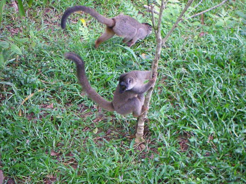 11_lemur7.jpg - кликните, чтобы открыть увеличенную картинку