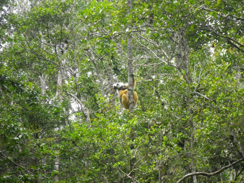18_lemur2.jpg - кликните, чтобы открыть увеличенную картинку