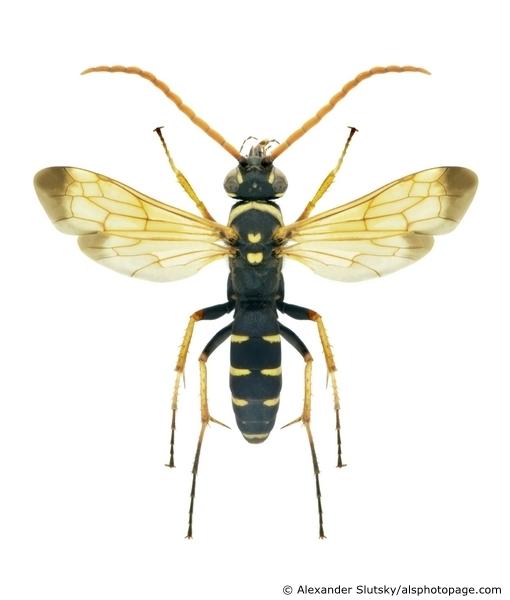 картинка: Batozonellus_lacerticida__Pallas_1771__male.jpg