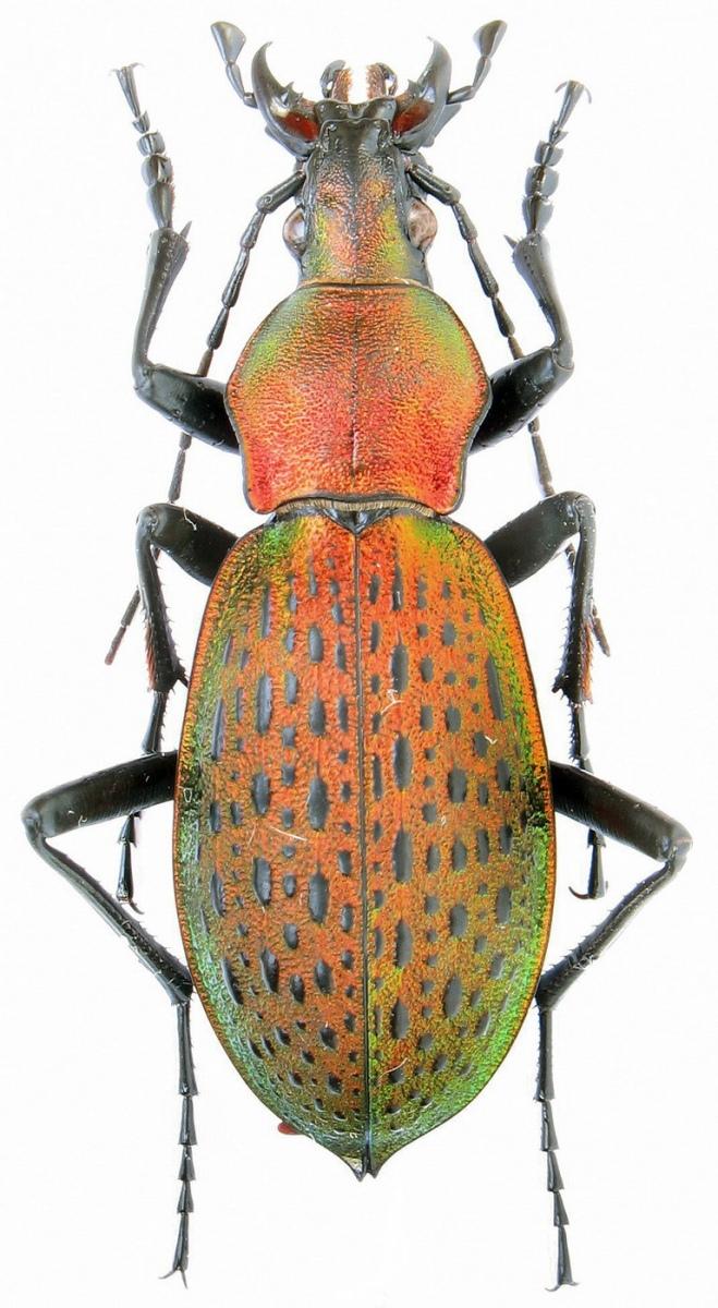 картинка: Carabus__Coptolabrus__smaragdinus_dolichognathus_Deuve__1995.37mm.jpg