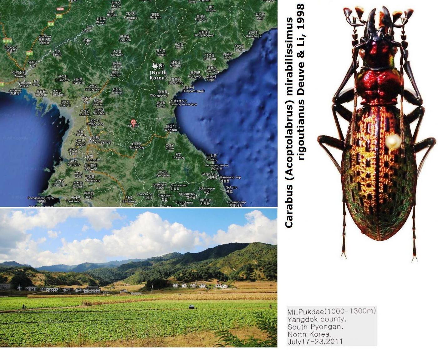 картинка: Carabus__Acoptolabrus___mirabilissimus_rigoutianus_Deuve___Li__1998.jpg