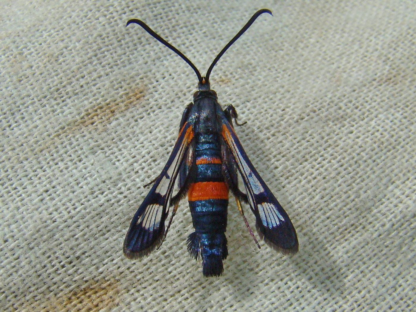 картинка: DSC00615_Synanthedon_culiciformis__Linnaeus__1758_.jpg