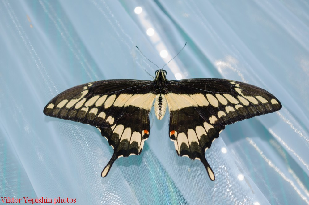 картинка: Papilio_thoas_Linnaeus__1771__3_.jpg