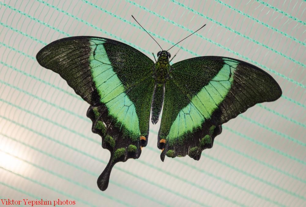 картинка: Papilio_palinurus_Fabricius__1787.jpg