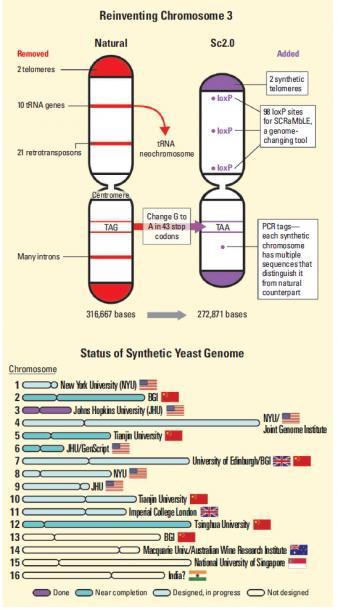 Yeast_chromosome.jpg - кликните, чтобы открыть увеличенную картинку