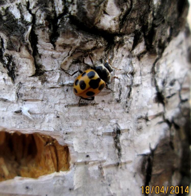 картинка: Hippodamia_septemmaculata.jpg