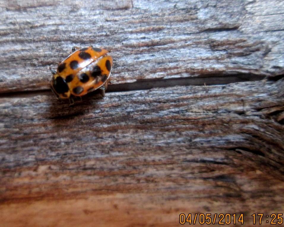 картинка: Hippodamia_tredecimpunctata.jpg