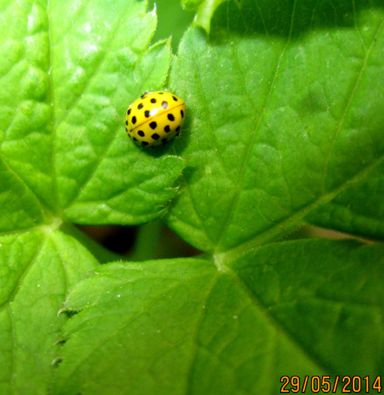 картинка: Psyllobora_vigintiduopunctata.jpg