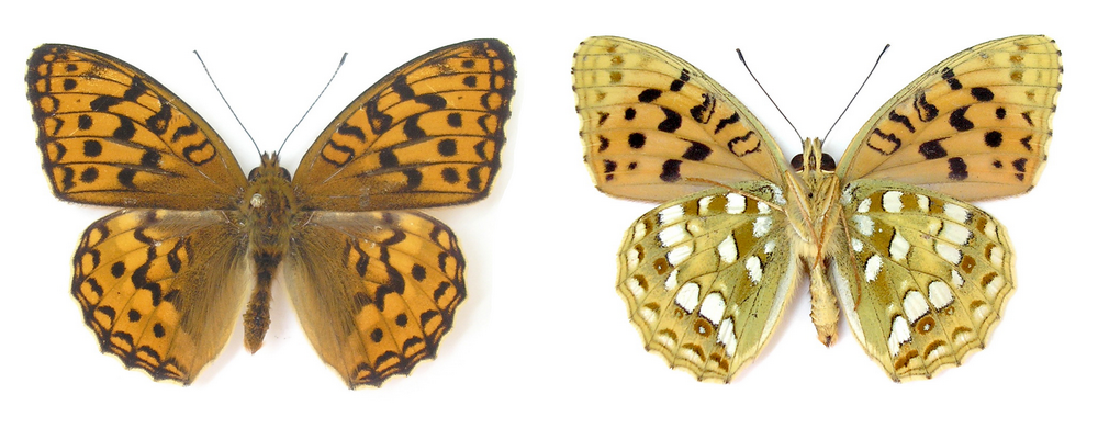 картинка: Argynnis_adippe.png