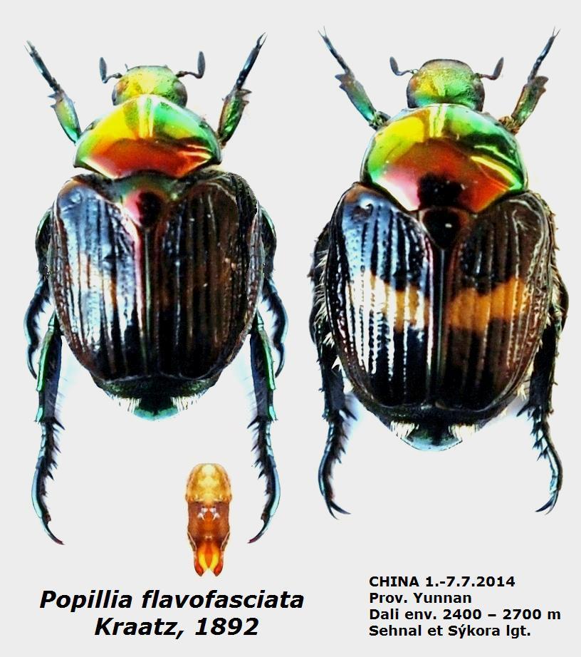 картинка: Popillia_flavofasciata_Kraatz___1892.JPG