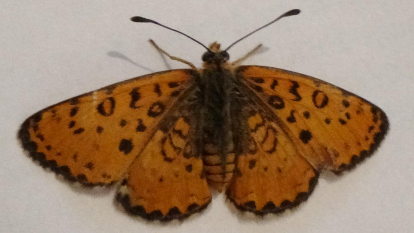 DSC03818_25_05_2016_Ankara_Lepidoptera_.JPG - кликните, чтобы открыть увеличенную картинку