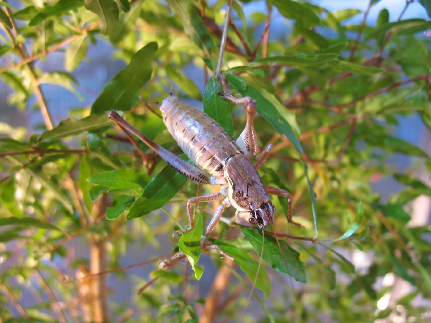 IMG_0956_Parapholidoptera_antaliae.jpg - кликните, чтобы открыть увеличенную картинку