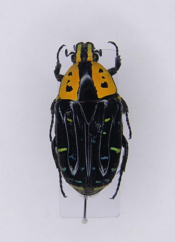 картинка: Euchroea_clementi_ssp.ripheus__Fairmaire_1897____02.jpg