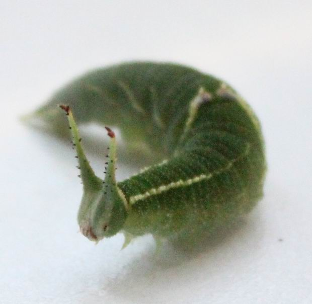 Волосатая гусеница уколола волосками