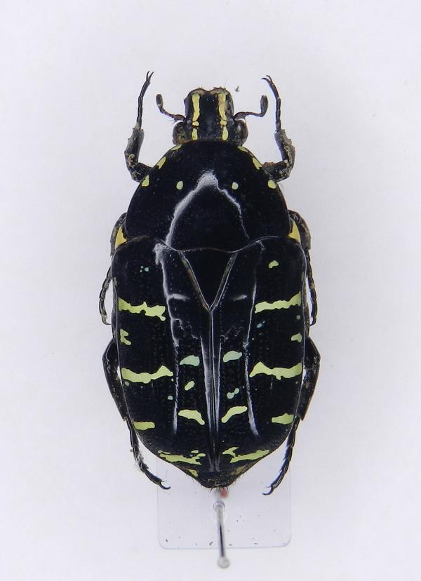 картинка: Euchroea_abdominalis_ssp.freudei__Ruter__1964____01.jpg
