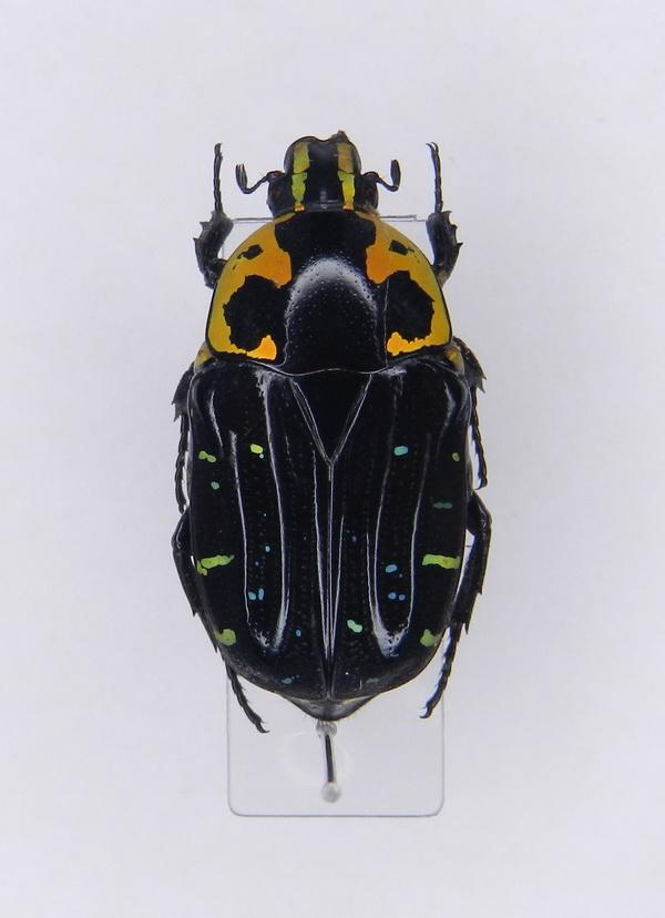картинка: Euchroea_clementi_ssp.ripheus__Fairmaire_1897____01.jpg