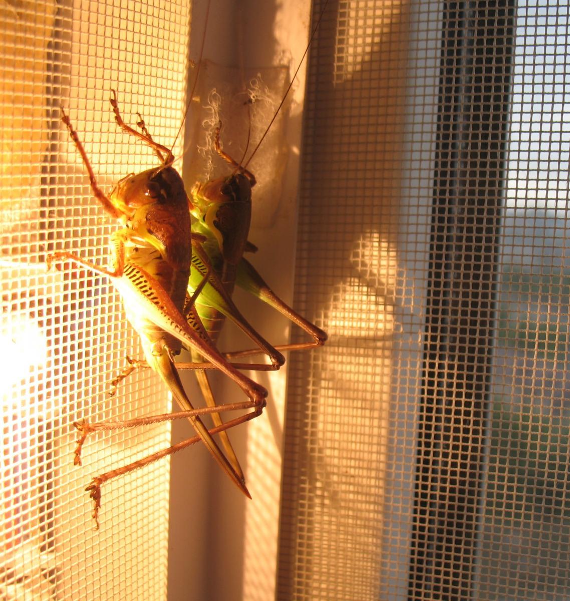 IMG_0799_Parapholidoptera_antaliae_imago__nymph.jpg - кликните, чтобы открыть увеличенную картинку