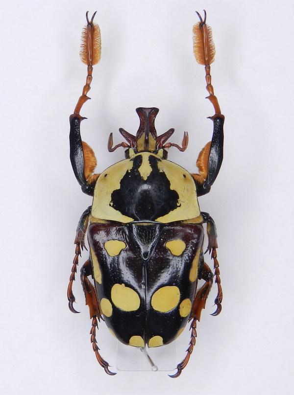 картинка: Cheirolasia_burkei_ssp.septentrionalis__Kriesche__1921_.jpg