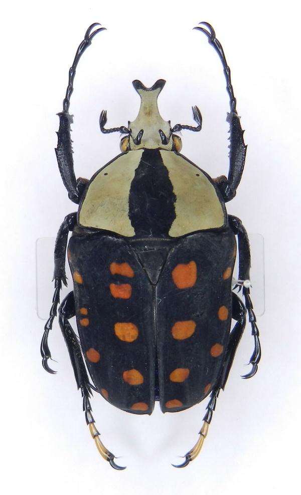 картинка: Amaurodes_passerini_ssp._nyanzanus__Burgeon__1934____01.jpg