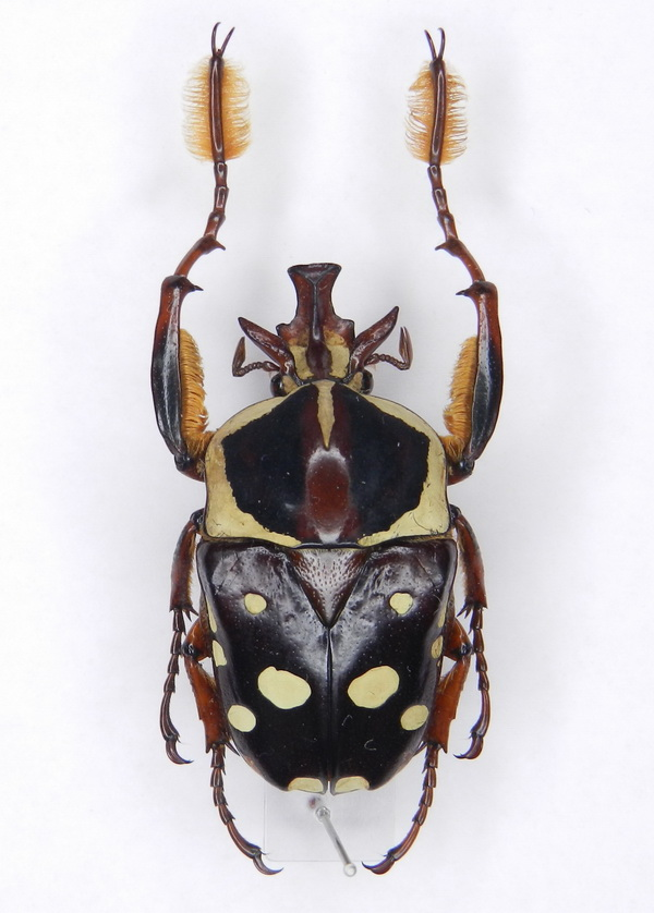 картинка: Cheirolasia_burkei_ssp.burkei__Westwood__1843____01.jpg