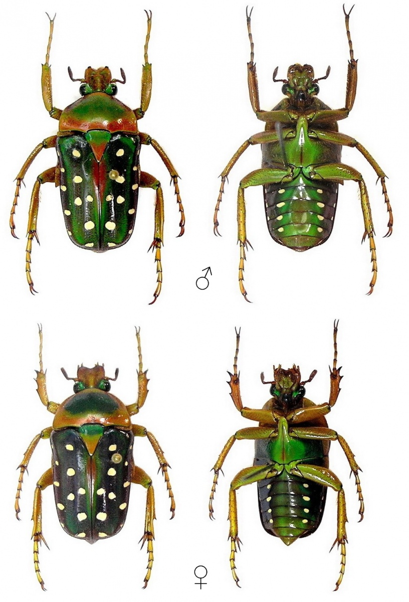 Attached ImageStephanorrhina_guttata.jpg