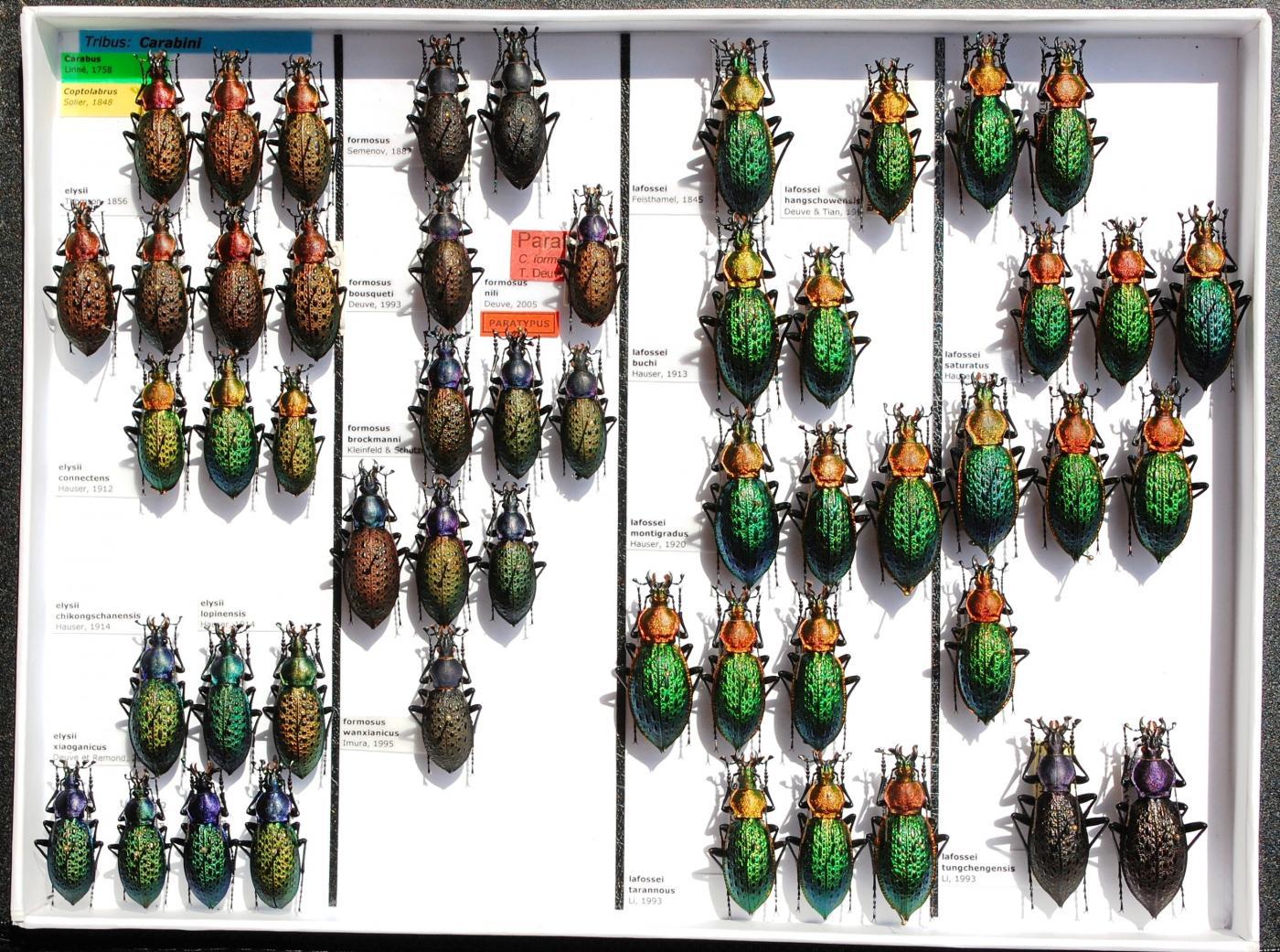 Carabidae_16.JPG - кликните, чтобы открыть увеличенную картинку