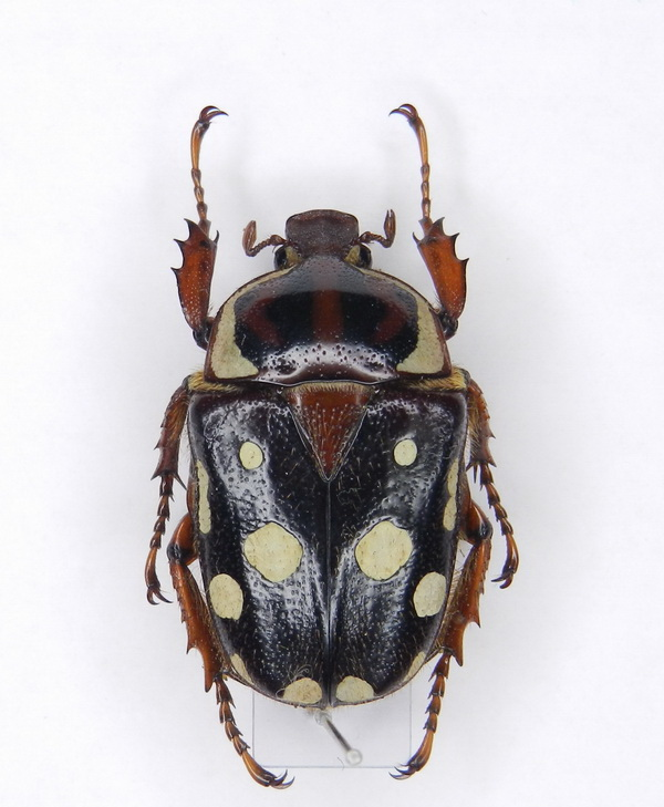 картинка: Cheirolasia_burkei_ssp.burkei__Westwood__1843____02.1.jpg