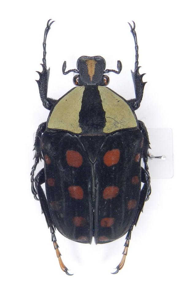 картинка: Amaurodes_passerini_ssp._nyanzanus__Burgeon__1934____02.jpg