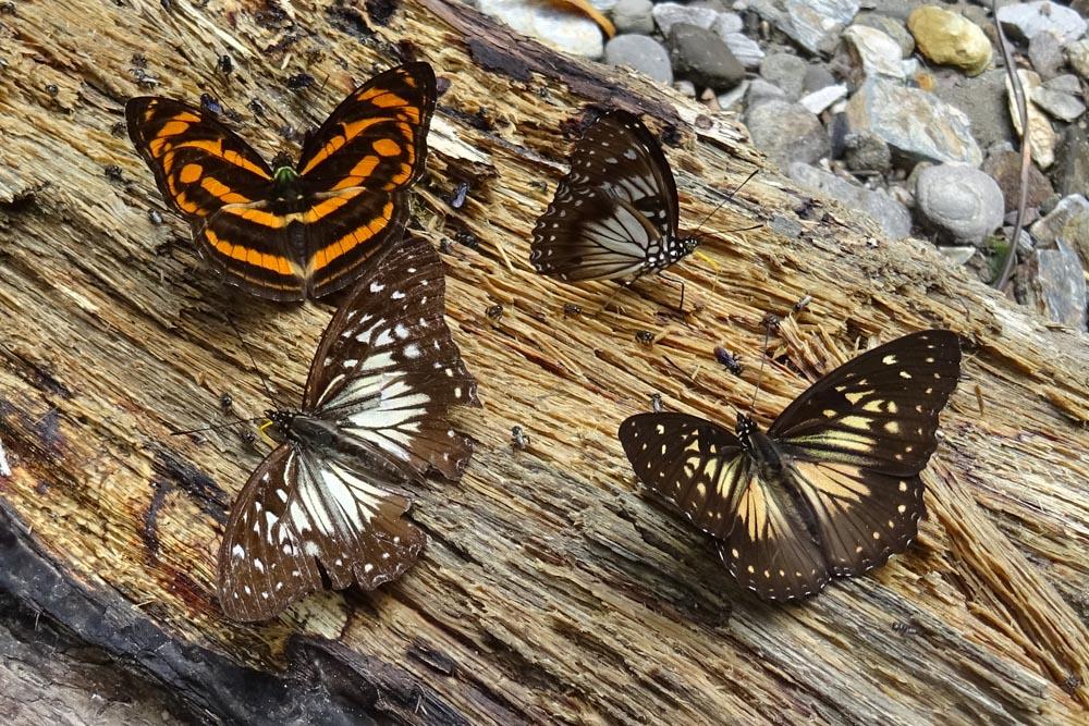 картинка: Nymphalidae2.jpg