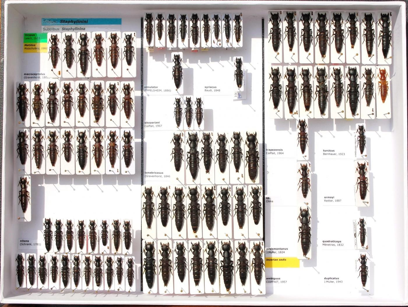Staphylinidae_56.JPG - Attached Image (Click thumbnail to expand)