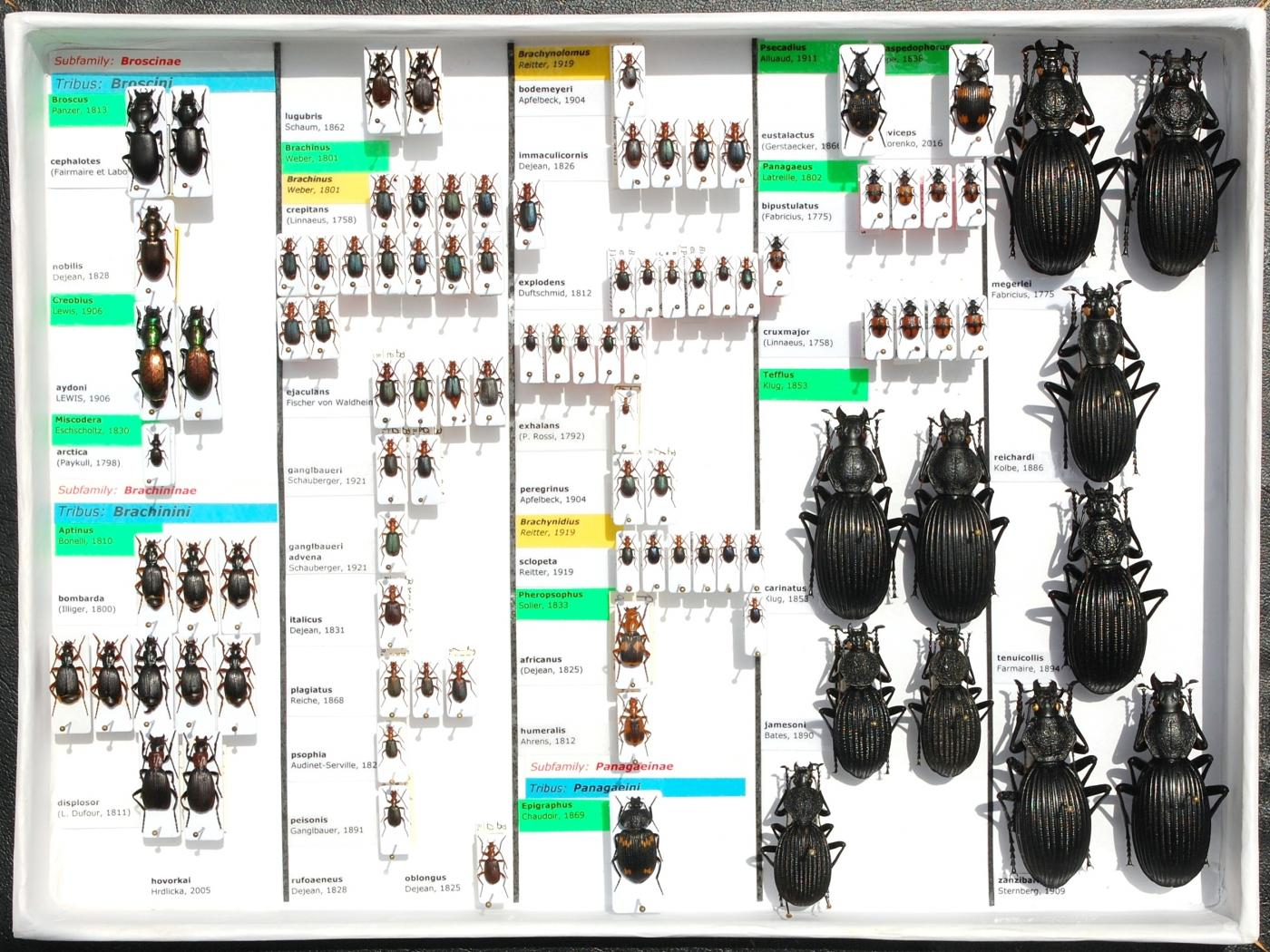 Carabidae_55.JPG - Attached Image (Click thumbnail to expand)