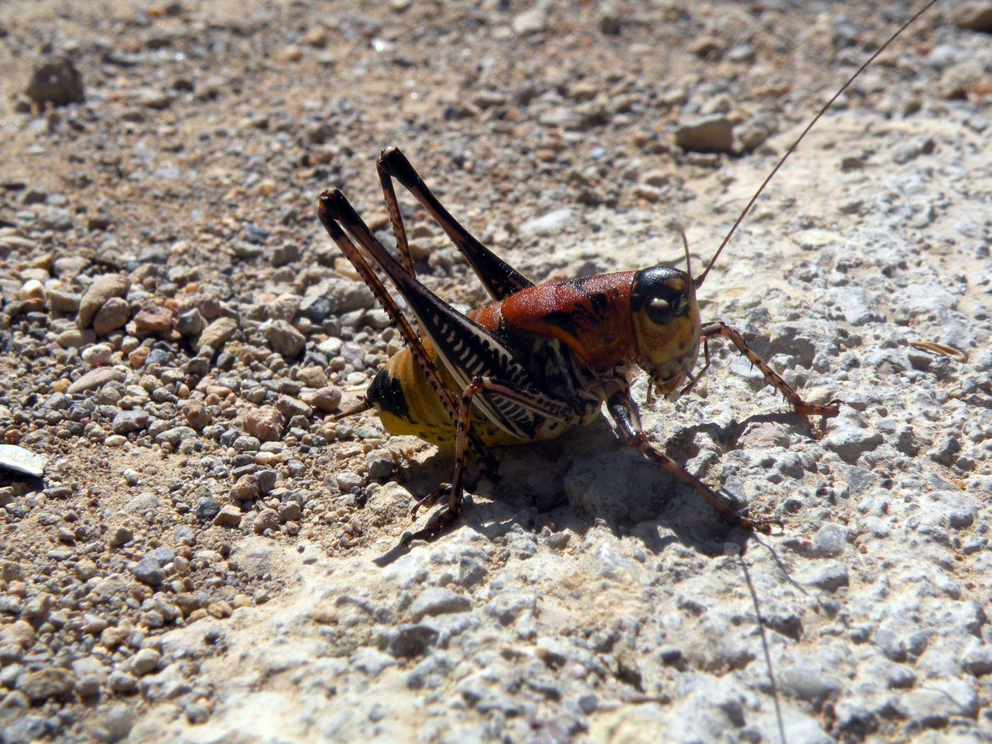картинка: DSCN8290Eupholidoptera.jpg