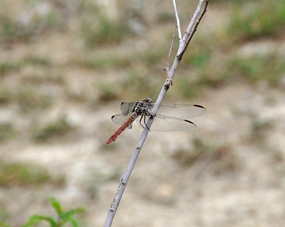 картинка: Odonata_DSC_0417.JPG