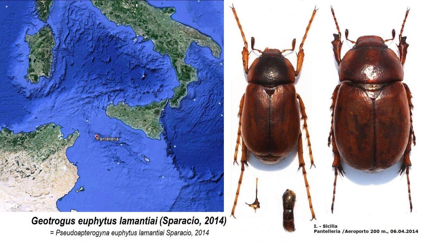 картинка: Geotrogus_euphytus_lamantiai_Sparacio__2014.jpg