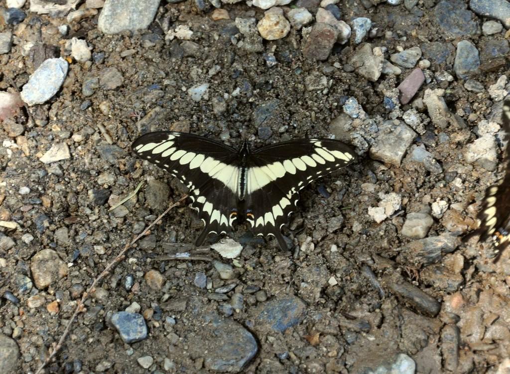 картинка: Papilio_cresphontes_320_1.jpg