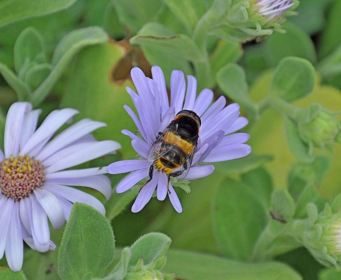 картинка: Phytomia_zonata_DSC_0300.jpg